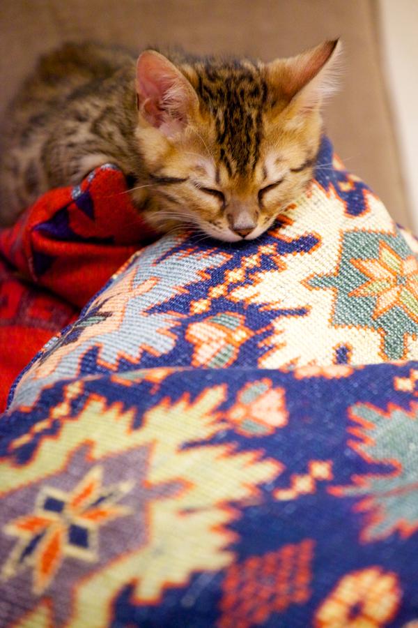 ベンガル猫の子猫
