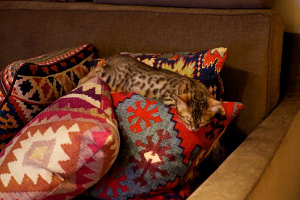 ベンガル猫の子猫 マウ