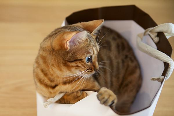 ベンガル猫のマウ&ハレ