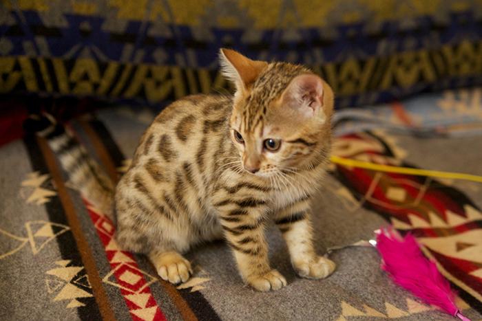 ベンガル猫のマウ&ハレ&フラ