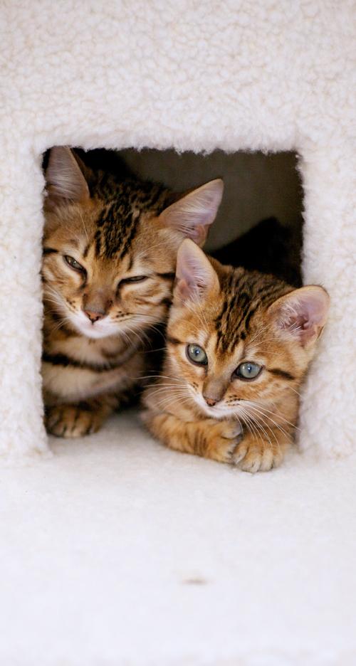 ベンガル猫の子猫iPhone5用待ち受け