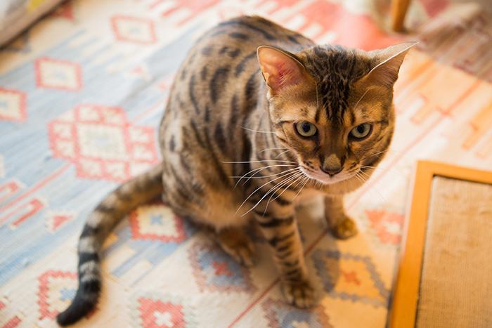 ベンガル猫のマウ